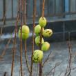 花梨の実 庭に生ってます