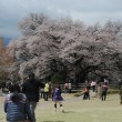 「一心行の大桜」