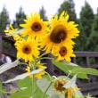 秋に夏の花