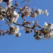 桜も花畑も、春です。