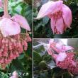 メディニラ・マグニフィカの花は