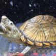 カブトニオイガメ甲長約8cm