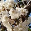 桜桃(さくらんぼ)の花