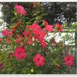 今年も見事に咲きました。タイタンビカス