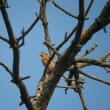 新潟の野鳥 アリスイ