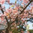 河津桜と桜貝