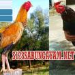 Sabung Ayam Peru, Sabung Ayam Nasional Amerika Latin