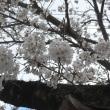 満開のソメイヨシノ桜と赤の椿