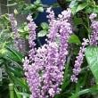 季節の花「薮蘭 (やぶらん)」