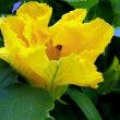 南瓜(ボウブラ)の花