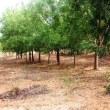 21世紀の木 ニーム-710 ニームの人への健康と環境