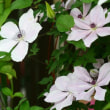 庭のお花達 薔薇・ブルームーン他