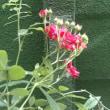 赤いバラが咲いてきた