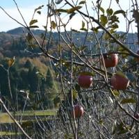 奈良・田原でリンゴ狩りを