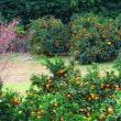 『季節の風景』 冬桜