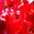 2018 青空の下バラの甘い香りが辺りに漂い  《福岡市東区海の中道海浜公園》