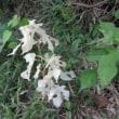すべての葉が白いヒメコウゾ(姫楮)を発見! ~ 千葉市緑区