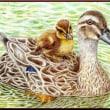色鉛筆画422 (鴨の親子)
