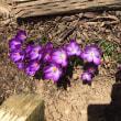 クロッカスがやっと咲きました