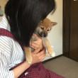 柴犬ケンタ生後2カ月