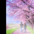 今年の桜 最終章 北海道伊達市にて
