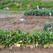 雨上がりの農作業