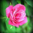 琉球大田焼窯元花の写真集☆我が家の庭でコウシンバラが咲きました