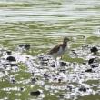 浅瀬で餌をさがして、よく歩くイソシギ。