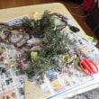 12月のサツマイモ掘り