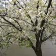 広島 造幣局の桜