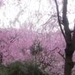京都の桜 2015