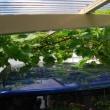 ブドウの房切りと蔓の誘引をしました
