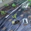 夏野菜は輪作管理で植えました(^_-)
