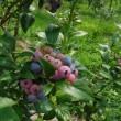 2回目のブルーベリー狩り~ランチは、グリーンエッグGREEN EGGでバッタタイ  デザートは女神の森奏樹でアフォガード