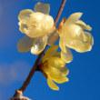 ロウバイの花が咲く頃(Ⅳ)
