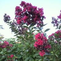 💠ピンク色の百日紅💠