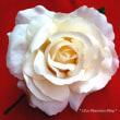 花・フローレスセール!明日からです【SALE!】フローレス・花髪飾り 全品20%オフセール 2/27(火)~3/4(日)