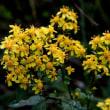 アキノキリンソウや野菊たち