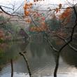 ё 地上好きな(?)オシドリの群れ姿、ドキドキ眺め ё M池(岐阜県岐阜市)