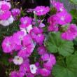 我が家のお花