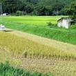 8月17日の散歩 稲刈り