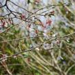 豆桜ほぼ満開