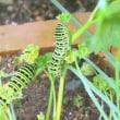8月の庭・・・キアゲハの幼虫が・・・パセリの葉を食い放題