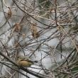 ごちゃごちゃの林の隅には、数羽のベニマシコ。
