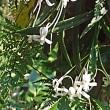 ◆日本の野生ラン・フウラン開花中