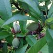 桃の実の摘果