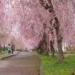 今年の桜旅計画