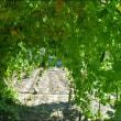8月の畑 (里芋とゴーヤ)