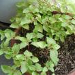 梅仕事と植物の世話
