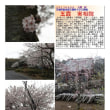 花巡り 「桜-その446」 五霞 実相院